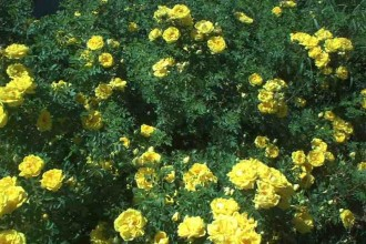 Yellow Wild Roses , 6 Wild Roses Plant In Plants Category