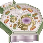 Plant Cell Lesson Plan , 4 Plant Cell Lesson Plans In Cell Category
