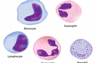 5 Types Of Normal White Blood Cells , 5 Types Of White Blood Cells Pictures In Cell Category