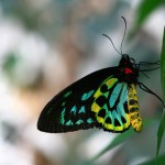 A Cairns Birdwing Butterfly , 8 Cairns Birdwing Butterfly Facts In Butterfly Category