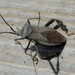 Acanthocephala sp. , 6 Leaf Footed Bug Controls In Bug Category