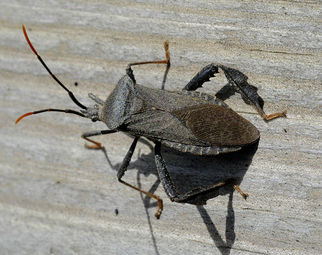 Bug , 6 Leaf Footed Bug Controls : Acanthocephala Sp.