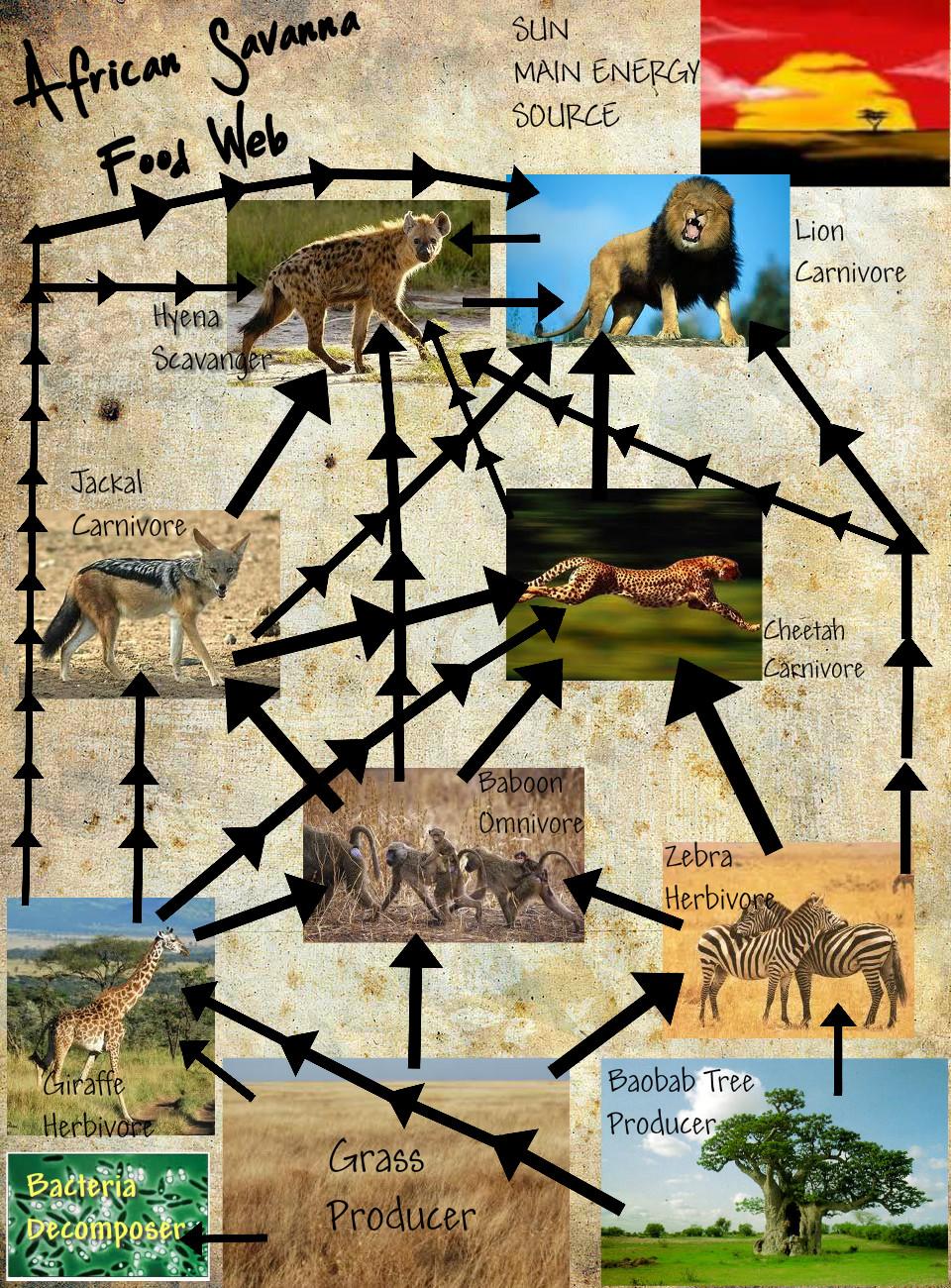 African Food Web