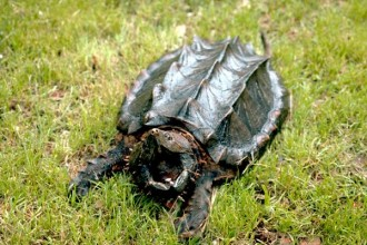 Alligator Snapping Turtle Facts in Forest