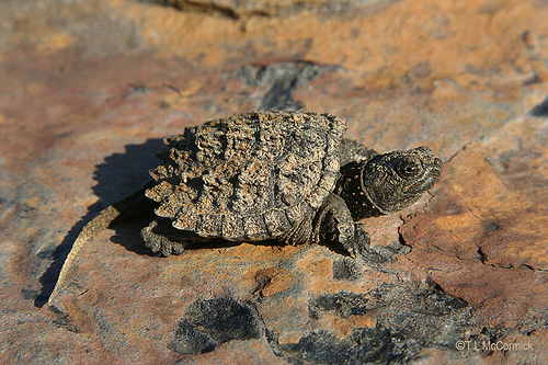 Reptiles , 6 Alligator Snapping Turtle Facts : Alligator Snapping Turtle Fun Facts