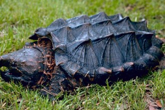 Alligator snapping turtle in Forest