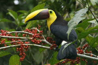 Amazing Toucan Bird , 6 Facts About Toucans In Birds Category
