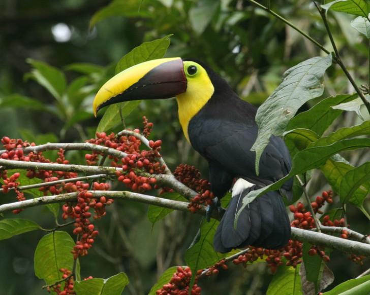 Birds , 6 Facts About Toucans : Amazing Toucan Bird