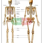 Anatomy of the Human Skeletal System , 6 Skeletal System With Labels In Skeleton Category