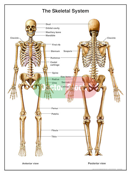 Anatomy of the Human Skeletal System