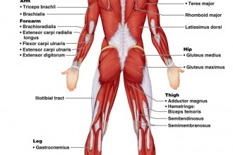 Anatomy Posterior Muscular System Diagram , 6 Muscular System Pictures Labeled In Muscles Category