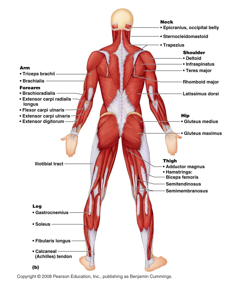 Anatomy Posterior Muscular System Diagram 6 Muscular System – Muscular System Labeling Worksheet