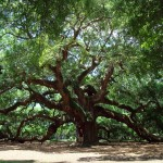 Angel Oak Tree , 6 Oak Tree Photos In Plants Category