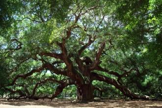 Angel Oak Tree , 6 Oak Tree Photos In Plants Category