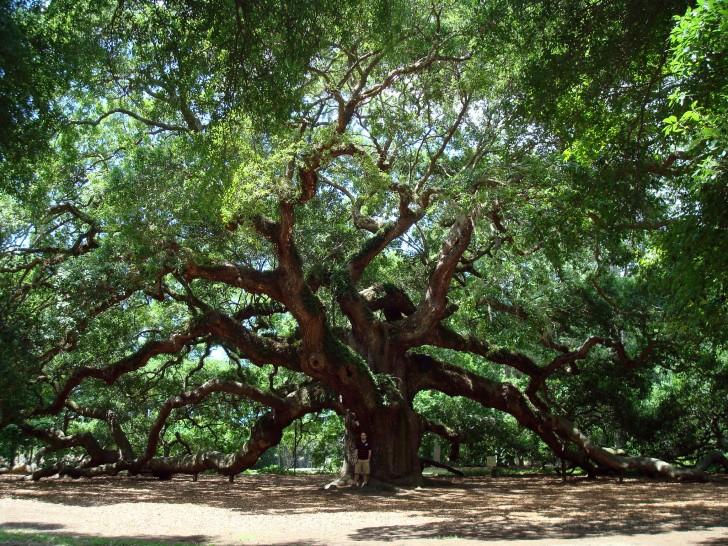 Plants , 6 Oak Tree Photos : Angel Oak Tree