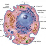Animal Cell Diagram Labeled , 6 Animal Cell Labeled In Cell Category