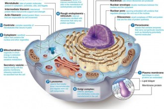 Animal Cell Labeled in Genetics