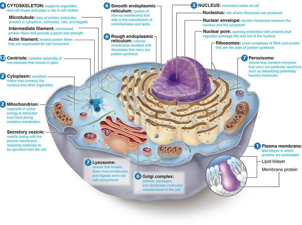 how is the structure of cells Diagram of the cell membrane's structures and their function  the content of the cell, inside the cell membrane, is composed of numerous membrane-bound.