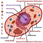 Animals cell labeled , 6 Animal Cell Labeled In Cell Category