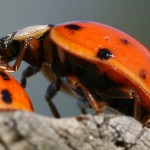 Asian LadyBug Beetle , 6 Photos Of Lady Bug Beetle In Bug Category