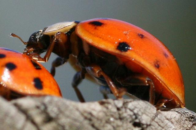 Bug , 6 Photos Of Lady Bug Beetle : Asian LadyBug Beetle