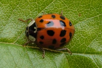 Asian Multicolored Ladybird Beetle in Spider