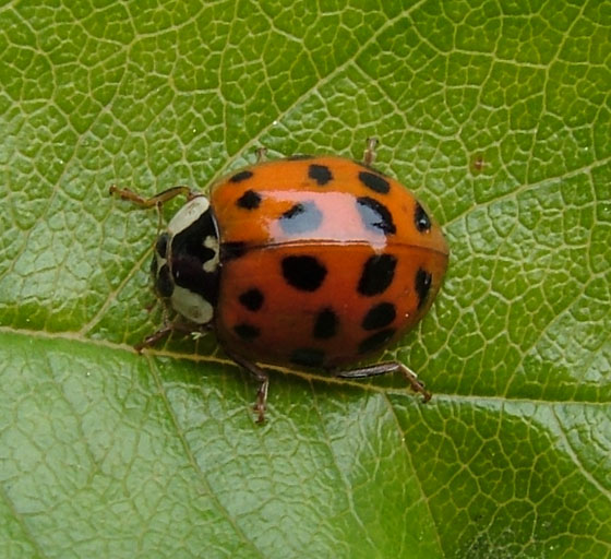 Asian Multicolored Ladybird Beetle