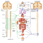 Autonomic Nervous System , 6 Nervous System Diagrams In Brain Category