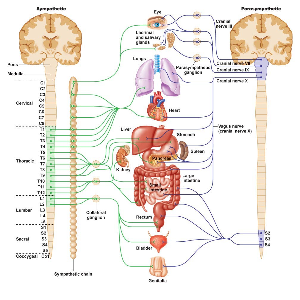 Autonomic nervous system 6 nervous system diagrams biological brain 6 nervous system diagrams autonomic nervous system ccuart Choice Image