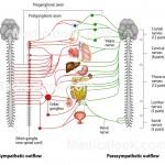 Autonomic nervous system labels , 6 Nervous System Diagrams In Brain Category