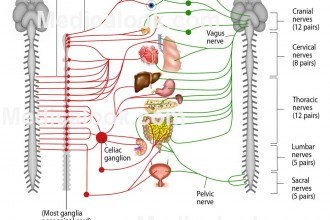 Autonomic Nervous System Labels , 6 Nervous System Diagrams In Brain Category
