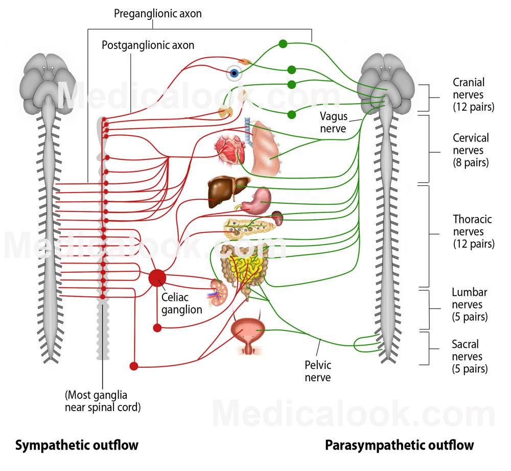 autonomic nervous system labels biological science. Black Bedroom Furniture Sets. Home Design Ideas
