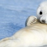 Baby Harp Seal , 6 Harp Seal Facts For Kids In Mammalia Category