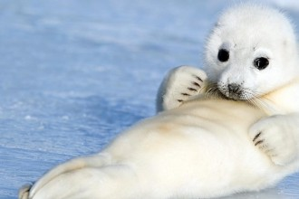 Baby Harp Seal in Plants