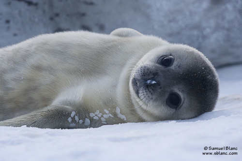 Mammalia , 6 Harp Seal Facts For Kids : Baby Harp Seal Facts For Kids