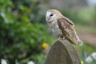 Barn Owl Fact For Kids , 6 Owl Facts For Kids In Birds Category