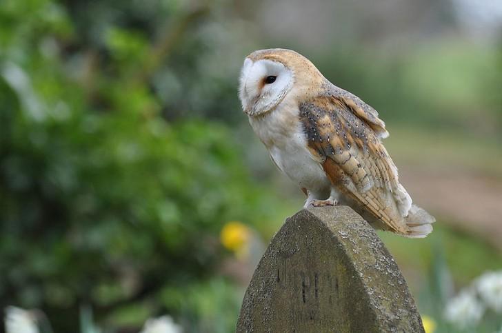 Birds , 6 Owl Facts For Kids : Barn Owl Fact For Kids