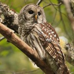 Barred Owl , 6 Barred Owl Facts In Birds Category