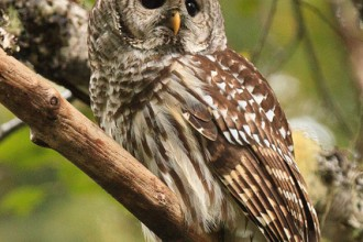 Barred Owl in Laboratory
