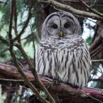Barred Owl Bird Picture , 6 Barred Owl Facts In Birds Category