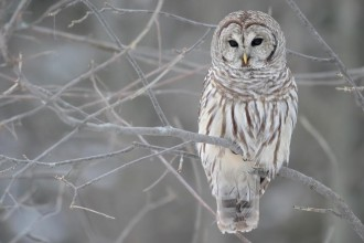 Barred Owl Pictures , 6 Barred Owl Facts In Birds Category