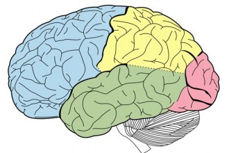 Basic Brain Anatomy , 4 Human Brain Diagram Quiz In Brain Category