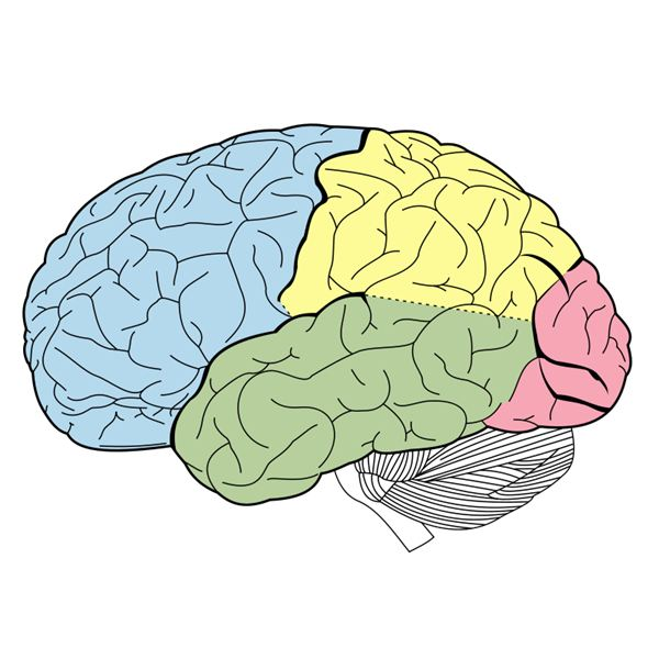 Basic Brain Anatomy   Biological Science Picture Directory