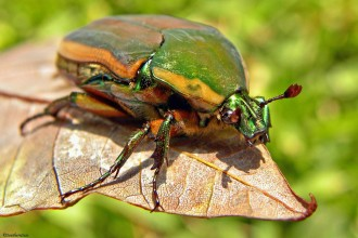Beetle in Decapoda