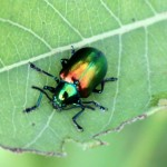 Beetle Bug Picture , 5 Pictures Of Beetles Bugs In Bug Category