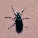 Beetle Identification , 6 Beetle Bugs Identification In Bug Category