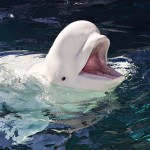 Beluga Whale Facts , 6 Beluga Whale Facts For Kids In Mammalia Category