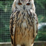 Bengalese Eagle Owl , 7 Owl Pictures In Birds Category