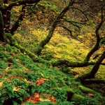 Big Leaf Maples Wallpapers , 4 Maple Leaf Landscaping In Plants Category