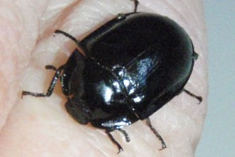 Black Beetle in pisces